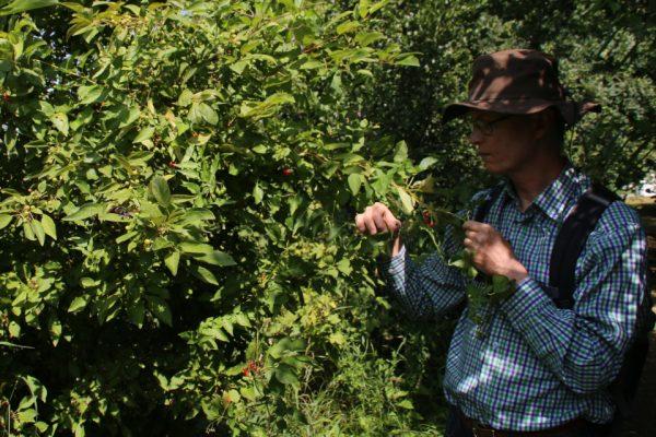 Паслён сладко-горький Solanum dulcamara 20jul18 fussingsø www.florapassionis.com