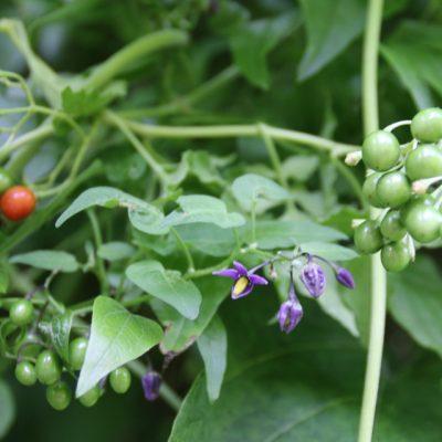 Паслён сладко-горький Solanum dulcamara 25jul17 bothavaar www.florapassionis.com