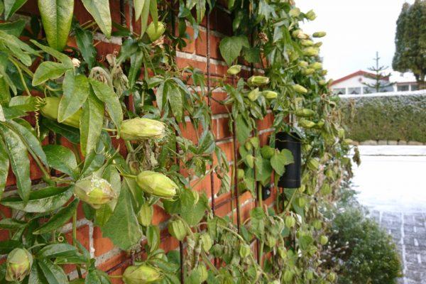 Пассифлора голубая, Страстоцвет голубой, Кавалерская звезда Passiflora caerulea godsbane aarhus 11dec17 My Garden www.florapassionis.com