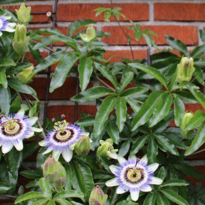 Пассифлора голубая, Страстоцвет голубой, Кавалерская звезда Passiflora caerulea godsbane aarhus 11sept17 My Garden www.florapassionis.com