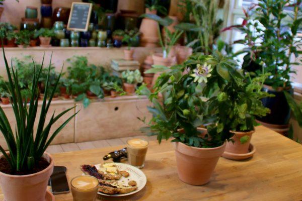 Пассифлора голубая, Страстоцвет голубой, Кавалерская звезда Passiflora caerulea godsbane aarhus 15maj18 www.florapassionis.com