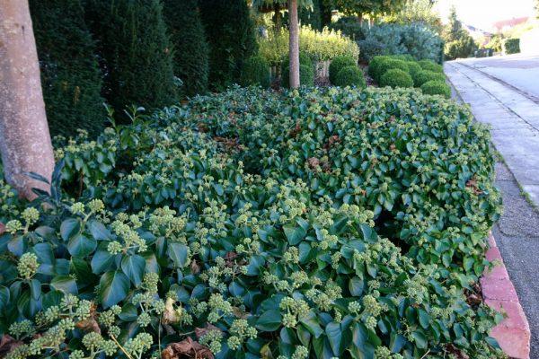 Плющ обыкновенный, Плющ вьющийся, Hedera helix 24okt18 viby www.florapassionis.com