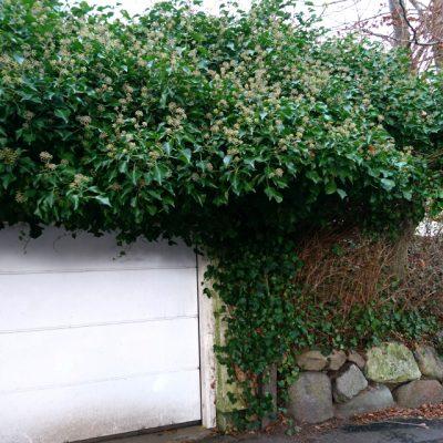 Плющ обыкновенный, Плющ вьющийся, Hedera helix 81217 aarhus www.florapassionis.com