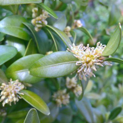 Самшит вечнозелёный Buxus sempervirens 230417 my garden www.florapassionis.com