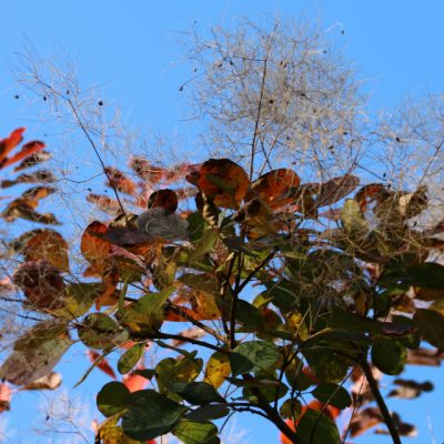 Скумпия кожевенная, или парикоовое дерево Cotinus coggygria Rhus cotinus 301017 Holme www.florapassionis.com