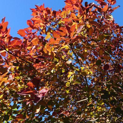 Скумпия кожевенная, или парикоовое дерево Cotinus coggygria Rhus cotinus 301017 www.florapassionis.com