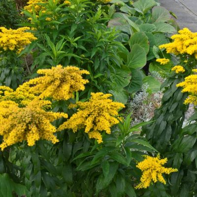Солидаго Ругоза Золотарник, Solidago Rugosa 24aug17 højbjerg www.florapassionis.com