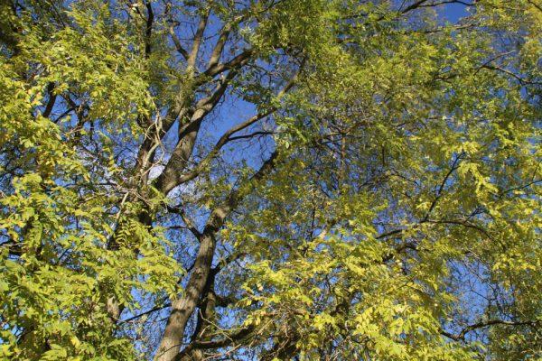 Софора японская, или Стифнолобий японский Styphnolobium japonicum 3nov2018 www.florapassionis.com
