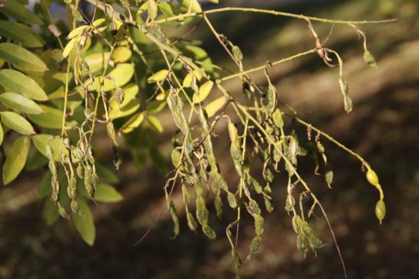 Софора японская, или Стифнолобий японский Styphnolobium japonicum bothav aar 3nov18 www.florapassionis.com