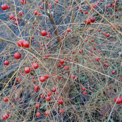 Спаржа лекарственная, или аптечная Asparagus officinalis 1dec18 dgb www.florapassionis.com