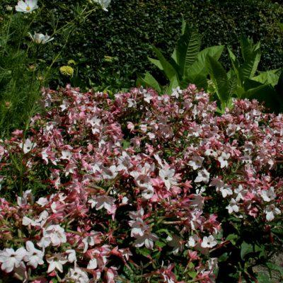 Табак крылатый, табак декоративный Nicotiana alata 22jun18 dringmars www.florapassionis.com
