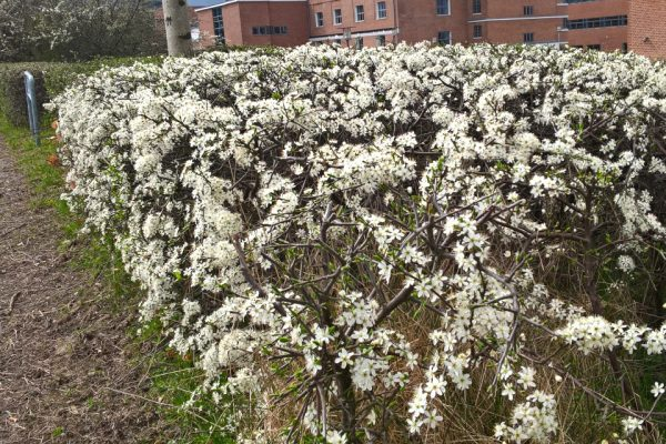 Терн, Терновник, Слива колючая Prunus spinosa 13apr17 viby www.florapassionis.com