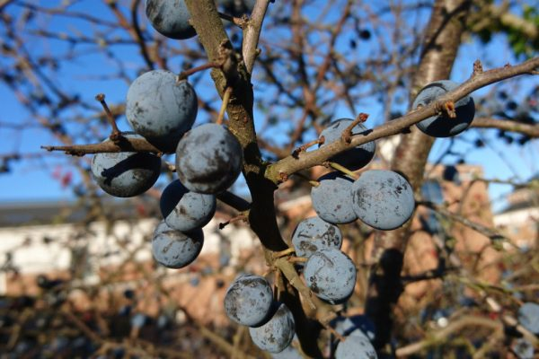 Терн, Терновник, Слива колючая Prunus spinosa 25nov18 viby www.florapassionis.com