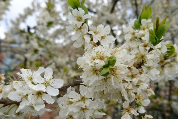 Терн, Терновник, Слива колючая Prunus spinosa 29apr18 viby www.florapassionis.com