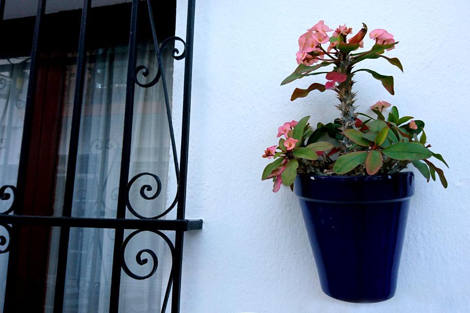 Молочай Милиуса (Euphorbia milii)