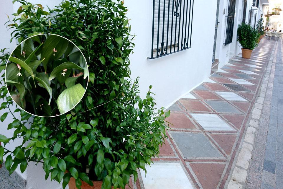 Иглица подлистная (Ruscus hypophyllum) в цвету