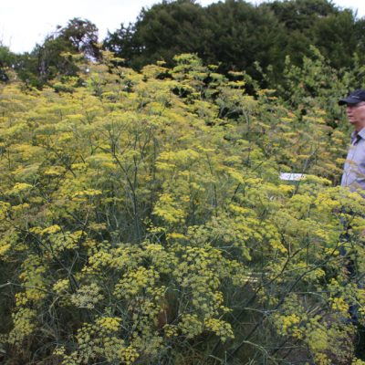 Фенхель обыкновенный Foeniculum vulgare 24aug18 gl estrup www.florapassionis.com