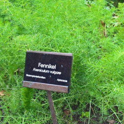 Фенхель обыкновенный Foeniculum vulgare 290417 steno www.florapassionis.com