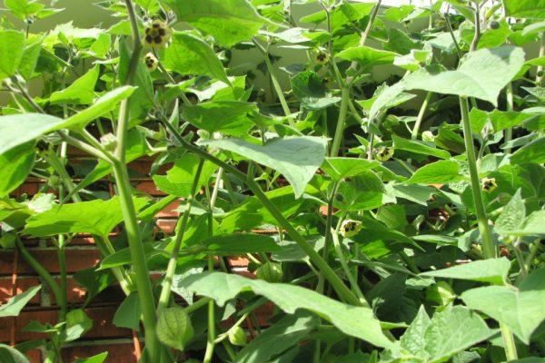 Физалис перуанский Physalis peruviana 14okt11 my garden www.florapassionis.com