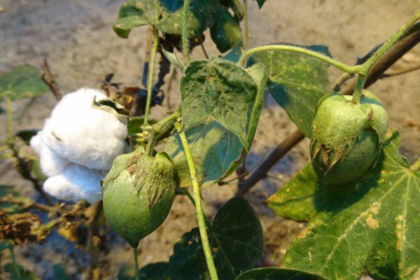 Хлопчатник травянистый Gossypium herbaceum L. bothavaar 3nov2018 www.florapassionis.com