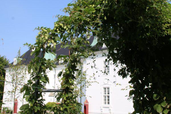 Хмель обыкновенный цветы Humulus lupulus 22aug2018 Marselisborg park www.florapassionis.com