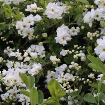 Экзохорда пильчатолистная, Струноплодник пильчатолистный Exochorda serratifolia S. 110518 viby www.florapassionis.com