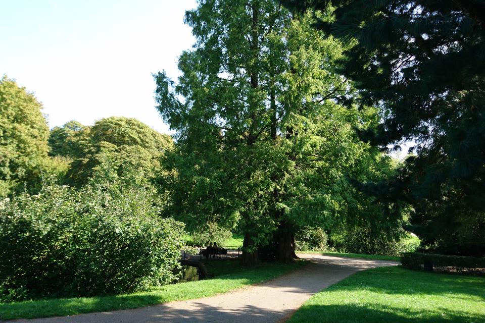 Уникальные деревья - реликтовые метасеквойи.