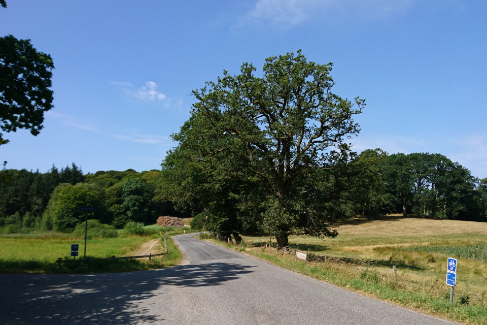 Многовековые дубы вдоль старой дороги.