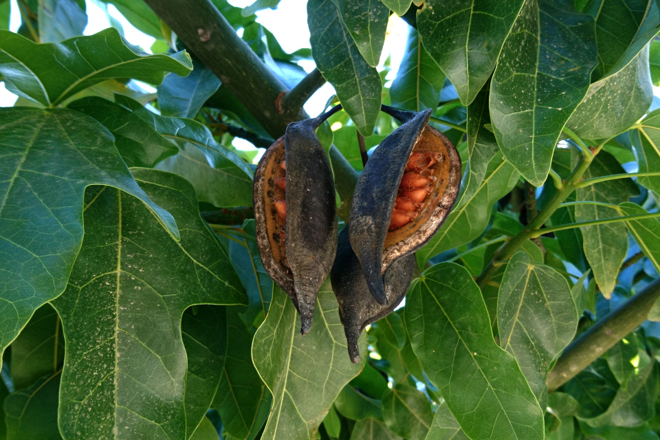 Брахихитон кленолистный (Brachychiton acerifolius) с плодами