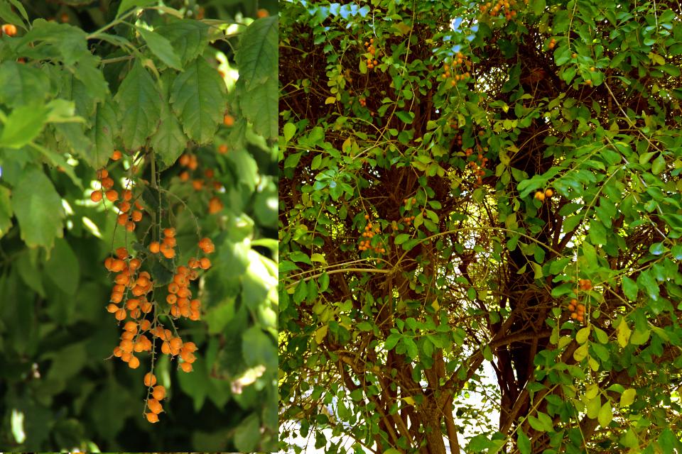 Дуранта (Duranta erecta) с плодами в ботаническом саду Ла Консепсьон, г. Малага