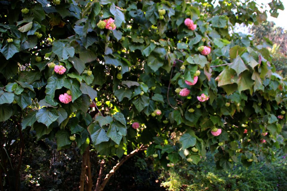Домбея Dombeya x cayeuxii Ботанический сад Ла Консепсьон Малага 16feb18 www.flroapassionis.com