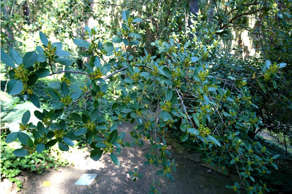 жостер вечнозелёный (Rhamnus alaternus) в в ботаническом саду Ла Консепсьон