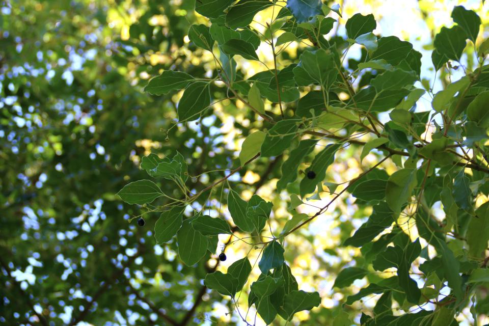 Камфорное дерево (Cinnamomum camphora) с плодами