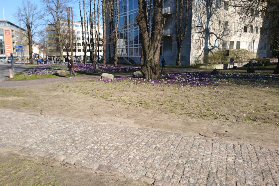 Крокусы начинают прорастать возле народной тропы в городском парке Ратуши