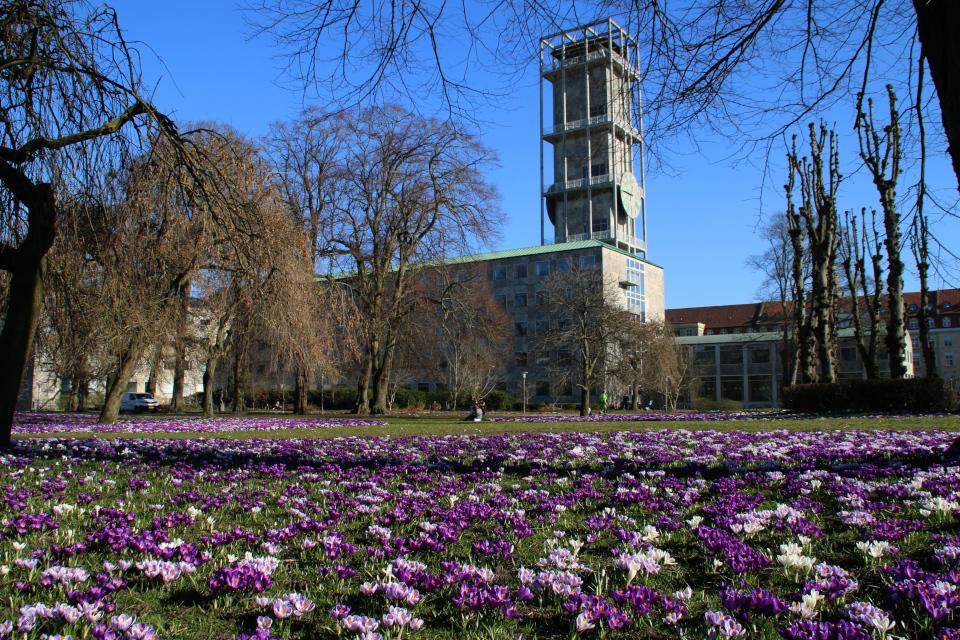 Крокусы в Орхусе, парк ратуши Дания