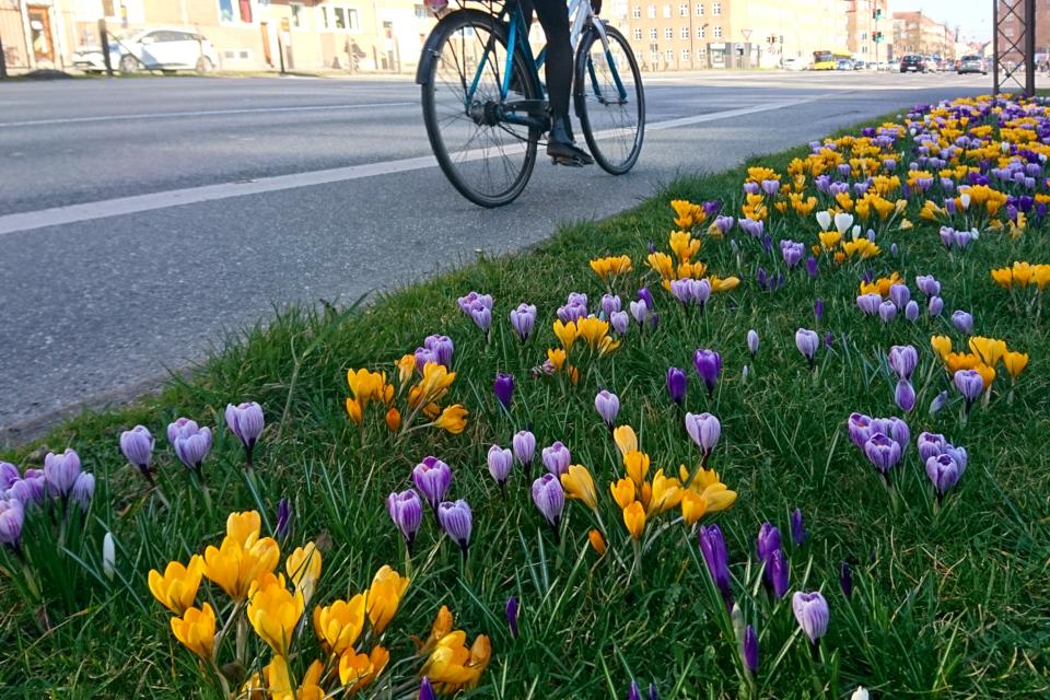 Крокусы в Орхусе - возле дороги