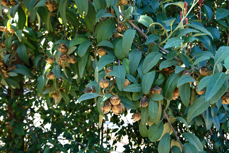 Лагунария Патерсона (Lagunaria patersonii) с плодами