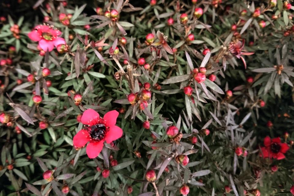 Манука, Leptospermum scoparium, новозеландское чайное дерево