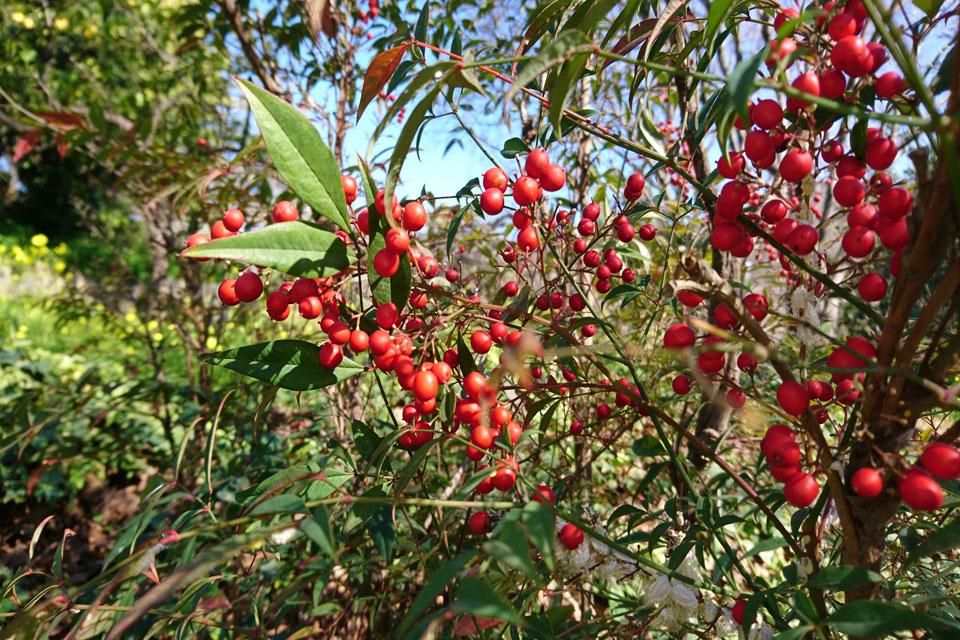 Нандина домашняя (Nandina domestica) с плодами в ботаническом саду Ла Консепсьон