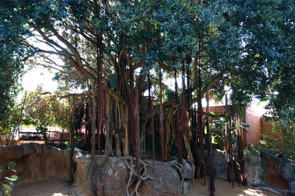 Фикус-баньян в Биопарке Фуэнхирола