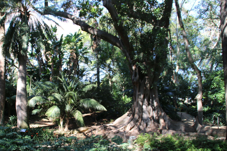 Австралийский гигант Фикус крупнолистный
