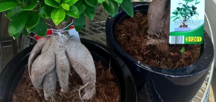 Фикус микрокарпа Гинсенг Ficus microcarpa ginseng lidl viby 17jul17 www.florapassionis.com