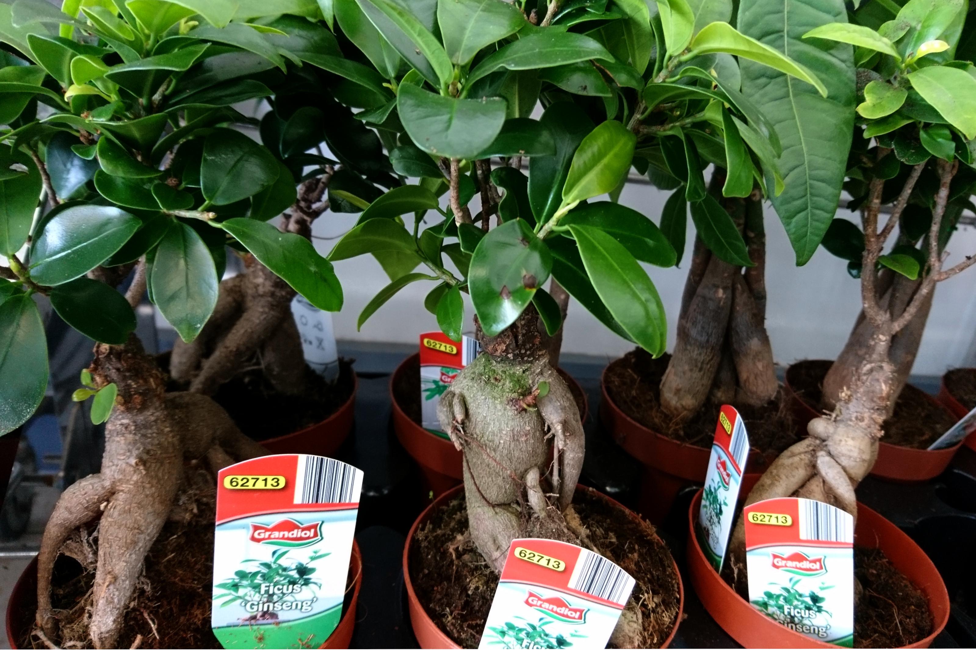 Фикус микрокарпа 'Гинсенг' (Ficus microcarpa 'Ginseng')