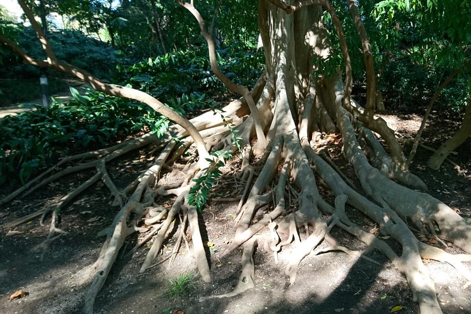 Досковидные корни фикуса микрокарпа в ботаническом саду Ла Консепсьон, г. Малага