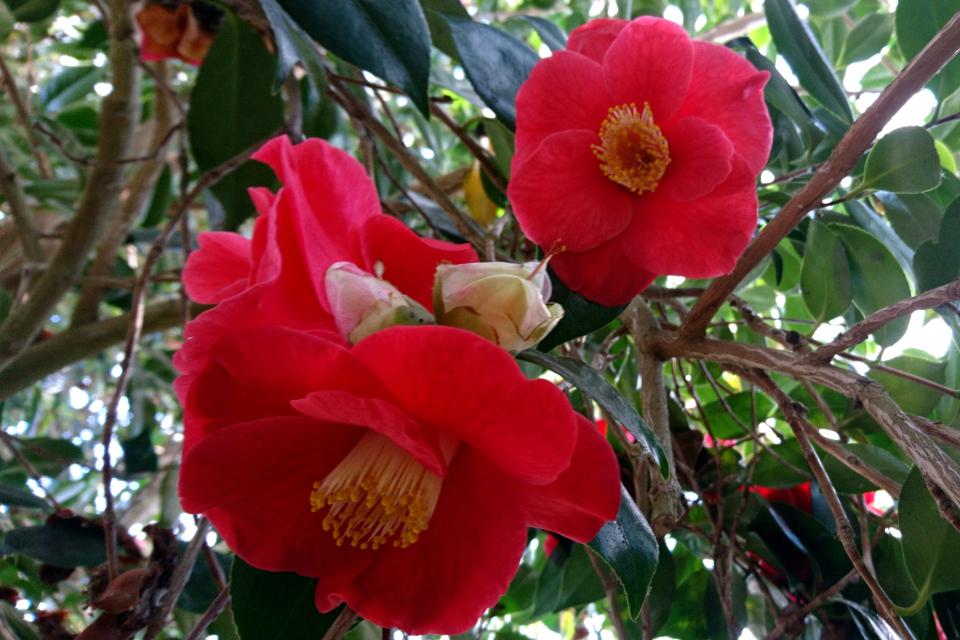 Camellia japonica 'Jupiter'.