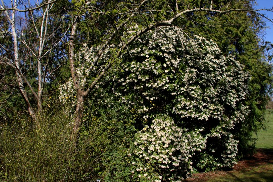 Цветущий куст пиериса японского