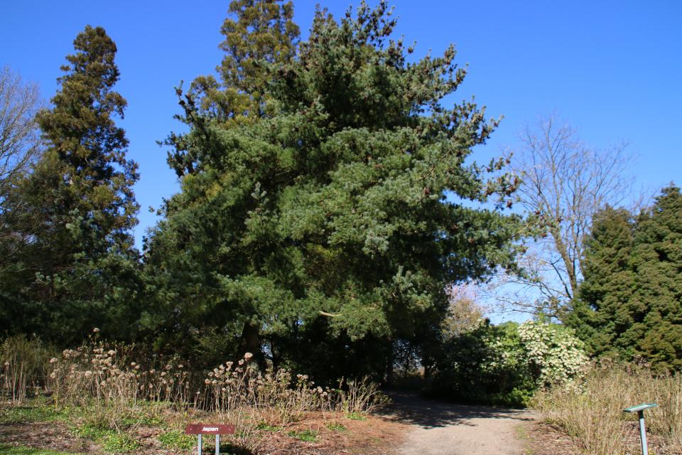 Хвойные растения и цветущий пиерис в зоне Японской Флоры