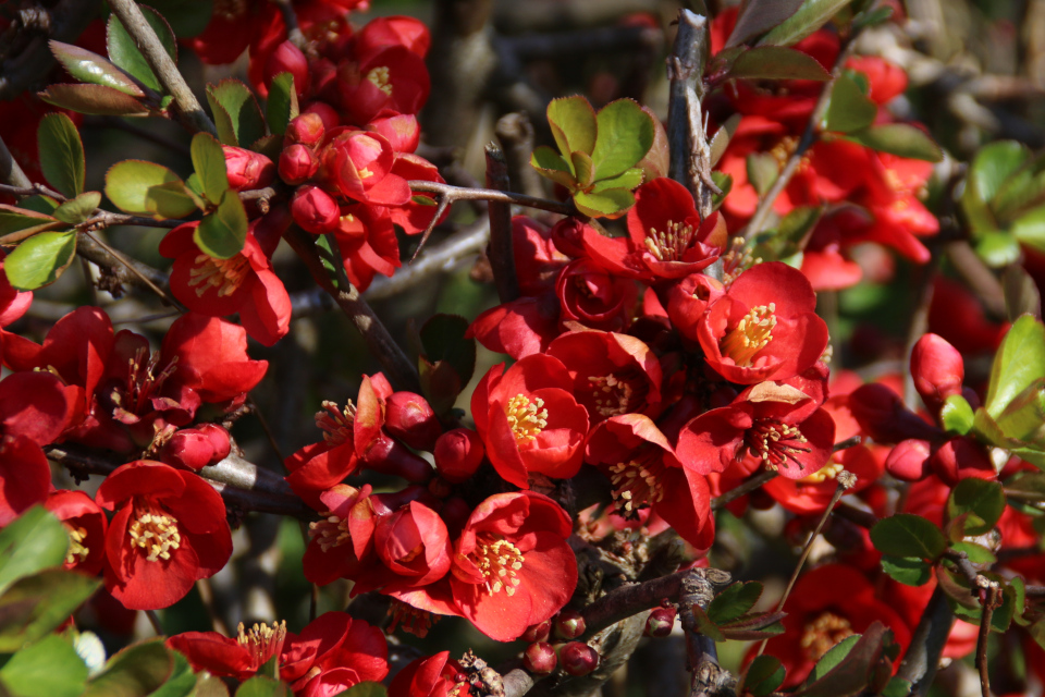 Цветы японской айвы, гибридный сорт Chaenomeles x superba 'Crimson and Gold