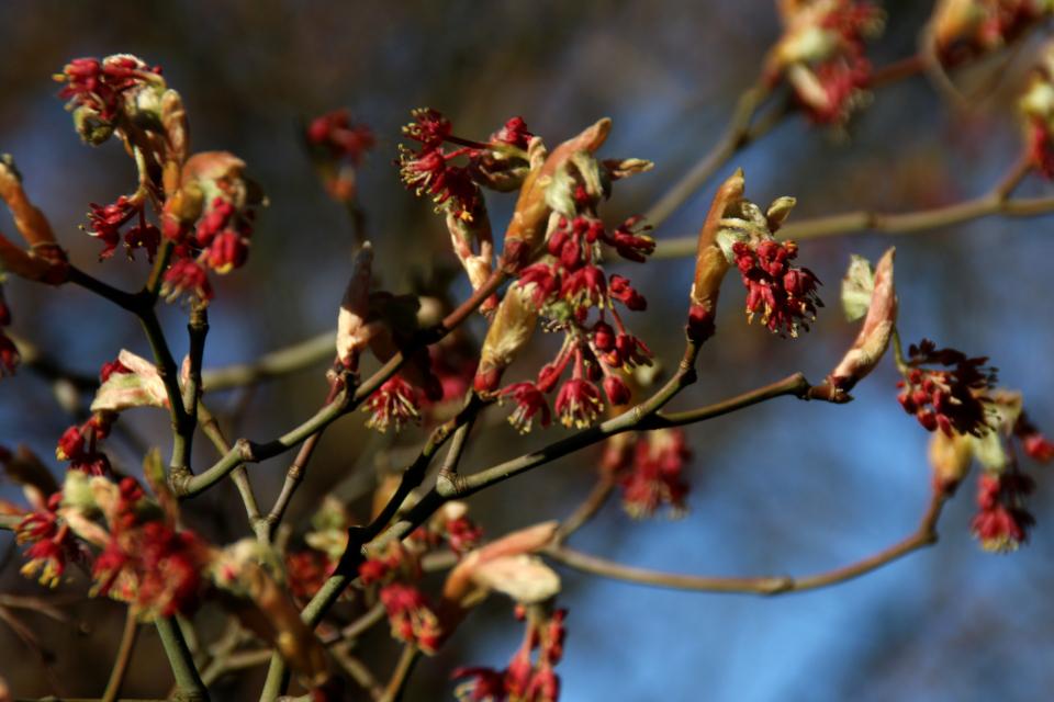 Японская весна в Дании - цвет японский клен