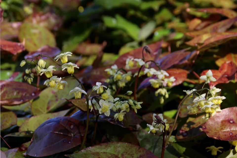 Горянка разноцветная (лат. Epimedium versicolor)